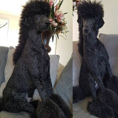 Poodle with a Mohawk