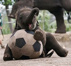 Baby Elephant playing soccer-The cuteness is overwhelming!