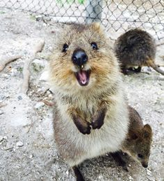 30 Funny Quokka Pictures That Will Make You Book a Flight to Australia to See Them Happy Animals, Animals And Pets, Funny Animals, Cute Animals, Cute Creatures, Beautiful Creatures, Animals Beautiful, Australian Animals, Little Critter