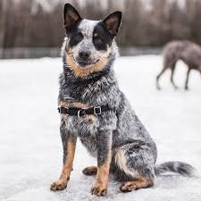 Image result for Australian cattle dog
