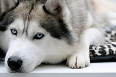 So boring to be your model! by Ү, via Flickr.  Siberian Husky.