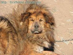 tibetan mastiff | tibetan mastiff - Pictures/Photography - Treehouse Cityguide