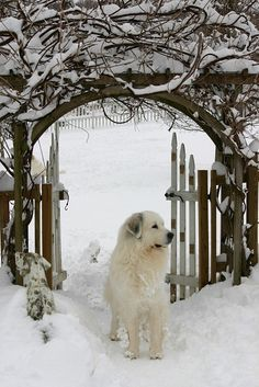 *Great Pyrenees beautifully framed in the Winter landscape.