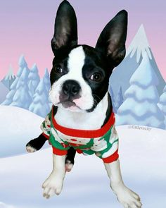 19 weeks old Good night FURriends all the way from the North Pole.  I got to start getting use to these weather conditions now that I have been assigned as Santa's replacement  #clf27 #flatnosedogsociety #bostonterrierlove #naturaldogcompany #bostonterrier_feature #bostonterriersoverload #mydogiscutest #bostonsofinstagram #squishyfacecrew #lacyandpaws #littlerocky #rocky #shortsnouts #BarkleyThePomSquad #btcult #bostonterrier #bostonpups #bostonterriers #bostonpuppy #bostonpuppies…