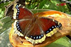Attracting Butterflies with Fruit | Birds and Blooms