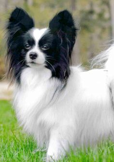 The Papillon's coat is long, flowing, and  silky in texture. #papillon #dog #pet