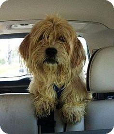 Calverton, NY Wheaten Terrier/Lhasa Apso Mix. Meet