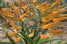aloe_marlothii - these colorful spike blossoms will grow out sideways!  Cacti.