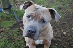 """Frank is a 2-year-old Pit Bull Terrier mix! The words """"gorgeous,"""" """"hunk"""" and even """"wowza!"""" come to mind with this boy! Frank is a strong guy who will need an experienced person to bring out the very best in him. Frank was ADOPTED! from Seattle Humane, Feb. 2017"""