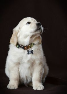 8 week old puppy at Suncrest Golden Retrievers - Fezziwig Baby Dogs, Pet Dogs, Dog Cat, Doggies, Cute Puppies, Dogs And Puppies, Best Dogs For Families, Golden Puppy, Dog Rules