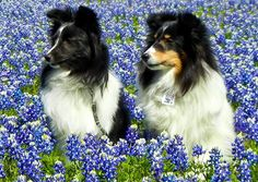 Shelties in the Spring Bluebonnets