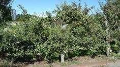 P1130786 | by UBCgarden Espalier Fruit Trees, Explore, Plants, Plant, Planets, Exploring
