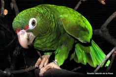 It is an adult Puertorrican parrot .
