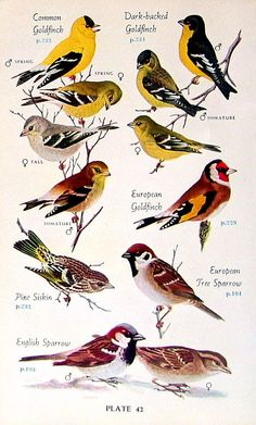 Hoary Redpoll Common Goldfinch Pine Siskin by mysunshinevintage