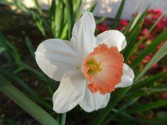 White and Orange Daffidile