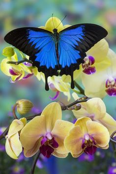 Mountain Blue Tropical Butterfly (Papilio ulysses) from Australia on Orchid Photography by: Darrell Gulin Butterfly Wallpaper, Butterfly Flowers, Blue Butterfly, Butterfly Wings, Beautiful Bugs, Beautiful Butterflies, Beautiful Creatures, Animals Beautiful, Flying Flowers