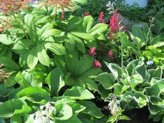 #Hosta #Rodgersia and #Astilbe a rainbow of color and texture in the leaves.  Great combination for a shade garden.