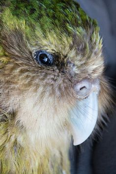 Pretty Birds, Love Birds, Beautiful Birds, Bird Drawings, Animal Drawings, Kakapo Parrot, Animal Close Up, Budgies, Parrots