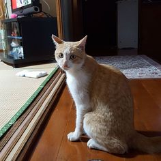 突然の蕁麻疹に困惑中💦 ダニ、ノミ、そんな感じかなって思って、 マークさんの毛の中を見ても何もいないし、 部屋のカーペットか布団な〜とも思ったけど まだ分からない… 色々と調べると猫を飼ってても 猫アレルギーを突然発症するって書いてあって それかな〜とも思ったり(笑) とにかく腕とか痒くて必死です(^^ゞ #肉球 #茶トラ #茶とら #cat #キャット #猫 #愛猫 #ねこ #ネコ #いきものにサンキュー #にゃんすたぐらむ  #にゃんこ #ねこ部 #猫部 #고양이 #고양이그램  #고양이스타그램