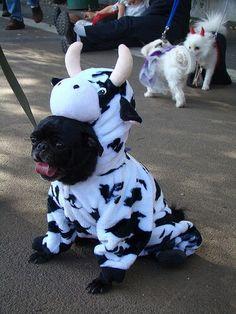 Pug cow