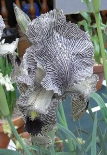 You Need Gardening Insurance For Anyone Who Is A Managing A Gardening Organization Iris Sari Subsp. Manissadjianii, Shown In The Ags Show By Joy Bishop.A Gray Iris.How Wonderful Rare Flowers, Iris Flowers, Black Flowers, Exotic Flowers, Amazing Flowers, Planting Flowers, Beautiful Flowers, Flower Gardening, Iris Garden