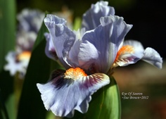 Iris (Iris 'Eye Of Sauron') uploaded by Calif_Sue