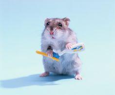 上手に歯磨きできるかな? Hamster Holds Toothbrush