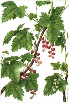 Botanical illustration of red currant Vintage Botanical Prints, Botanical Drawings, Botanical Art, Guache, Plant Art, Plant Species, Fruit Art, Watercolor Paintings, Watercolour