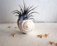 petite garden // air plant tillandsia //  starfish terrarium // by robincharlotte