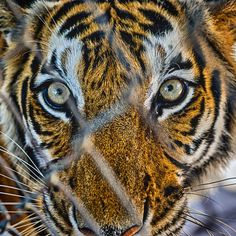 Caged || #tiger #bangkok #thailand #travel #ig_thailandia