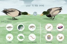 Illustration of what to feed ducks A few varied photos that I like Pet Ducks, Baby Ducks, Duck Feed Recipe, What To Feed Ducks, Farmer Duck, Backyard Ducks, Raising Ducks, Raising Chickens, Duck Coop
