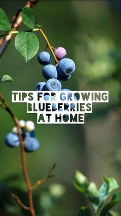 Tips for Growing Blueberries at Home. Learn the best soil conditions and where you should plant them.