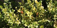 """Buksbom er en skovplante. Men i de nordiske haver står den i fuld sol, og busken skal """"arbejde"""" mere for at trives. Er den blot lidt gullig eller rødlig, så skal du have to ting frem: Vandslangen og noget Animix eller anden gødning, som planten kan optage langsomt og efter behov. Hvis du sørger for at vande den jævnligt i en måneds tid vil du se, at den begynder at trives igen. I sommerhalvåret vil den så få fin tilvækst, og din beskæring af den i Juli vil også give den et friskere look."""