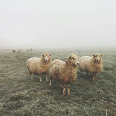 Ewes in the fog (Instagram @benjaminhole)