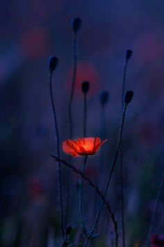 ~~The Light Within | Red Poppy at Dusk | by josechino2424~~