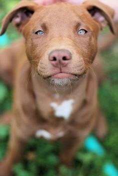 handsome pitt. {i really want a pit bull, or standfordshire terrier, really, really terribly...}