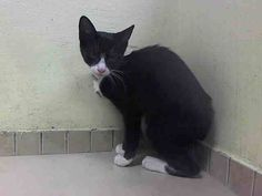 TO BE DESTROYED 8/26/14 ** BABY ALERT! ONLY 14 WEEKS OLD! friendly and allowed handling 2 kittens: A1011332, 331 ** Manhattan Center  My name is IKE. My Animal ID # is A1011331.  I am a male black and white domestic sh mix. The shelter thinks I am about 14 WEEKS old.   I came in the shelter as a STRAY on 08/20/2014 from NY 11418, Group/Litter #K14-191060.