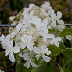 Hydrangea paniculata Levana – Grand Hortensia arbustif à fleurs énormes Hydrangea Paniculata, Hortensia Hydrangea, Landscaping, Plants, Hydrangeas, Shrub, Plant, Landscape Architecture, Garden Design