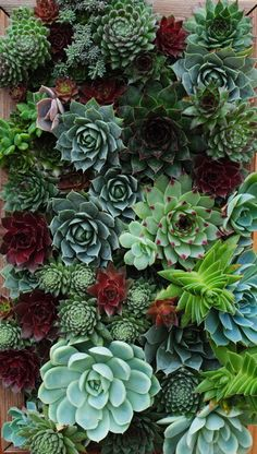 "Succulents: ""Some of the hardiest, drought tolerant varieties they place on their 'Superstar Performer List' are Sempervivum, Echeveria, Crassula and Sedum, REALISTIC plants to grow ! Vertical Succulent Gardens, Succulent Wall, Succulent Gardening, Cacti And Succulents, Planting Succulents, Container Gardening, Planting Flowers, Organic Gardening, Succulent Containers"