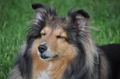 It's my baby, Shelby! She's an excellent Sheltie & I rescued her & she turned around & rescued me! God blessed me with her!
