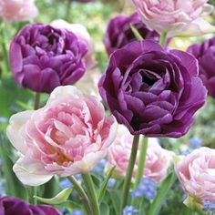Double Tulips - A combo of the most popular double tulips--pink Angelique and Lilac Perfection.
