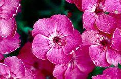 pink 'Whatfield Magenta'