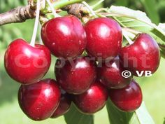 Čerešňa - 'Granát' - Ovocná škôlka - STAPE VAJDA s.r.o. Cherry, Fruit, Food, Essen, Meals, Prunus, Yemek, Eten