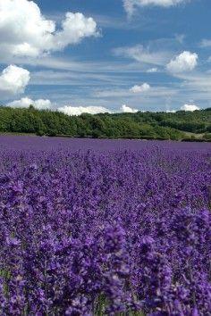 Kansas Lavender Fields, Topeka Ks