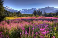 Fireweed & Ice at the Mendenhall