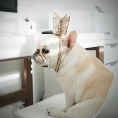The major breeds of bulldogs are English bulldog, American bulldog, and French bulldog. The bulldog has a broad shoulder which matches with the head. White French Bulldog Puppies, Cream French Bulldog, Merle French Bulldog, French Bulldog For Sale, French Bulldogs, Cute Puppies, Dogs And Puppies, Animals Beautiful, Cute Animals