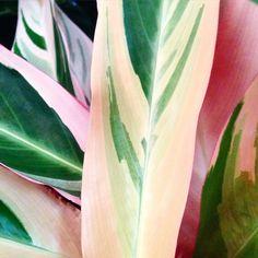 calathea plant - picture renskeversluijs