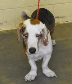 Petango.com – Meet Sawyer 1636, a 1 year 6 months Basset Hound / Mix available for adoption in ONTARIO, OR