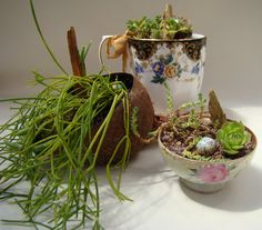 Some of my tea cup mini succulent gardens.  These have all gone to good homes.