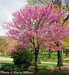 Eastern Redbud Cercis canadensis Bright Rosy Pink Flowers that Appear in April Great colorful foliage year round with reddish-brown leaves change to dark green then to yellow in fall Grows to 20 to 30 with 25 to 35 spread Zones 4 to 9 Trees And Shrubs, Flowering Trees, Trees To Plant, Redbud Trees, Deciduous Trees, Garden Trees, Lawn And Garden, Summer Garden, Eastern Redbud Tree